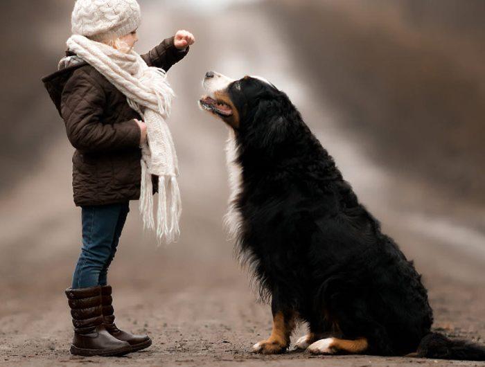 bernese mountain dog image